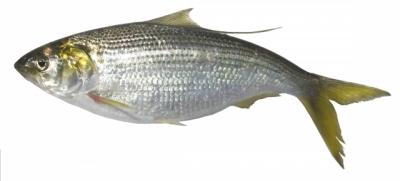 お魚タイピング答えコノシロ