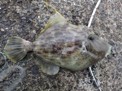 お魚タイピング答えカワハギ